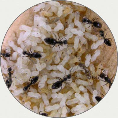 white-footed-ants